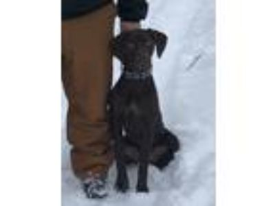 Adopt Cooper a Brown/Chocolate German Shorthaired Pointer / Mixed dog in
