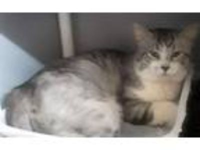 Adopt Frost a Gray or Blue (Mostly) Turkish Angora (medium coat) cat in