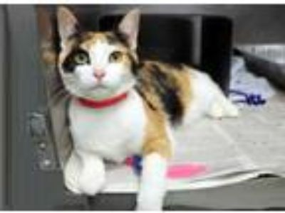 Adopt Lexie a Orange or Red Domestic Shorthair / Domestic Shorthair / Mixed cat