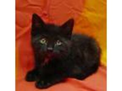 Adopt 19-c06-009 Ruger a Domestic Short Hair