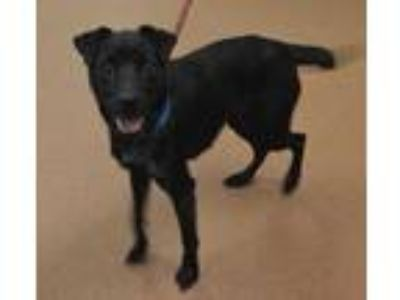 Adopt 59090 Cricket a Black Jack Russell Terrier / Mixed dog in Spanish Fork