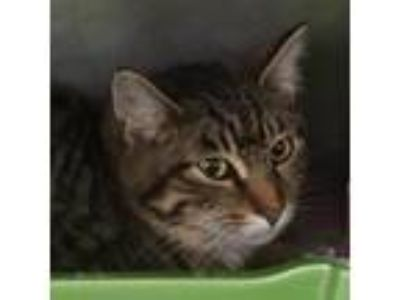 Adopt Collins a Brown or Chocolate Domestic Shorthair cat in Walker