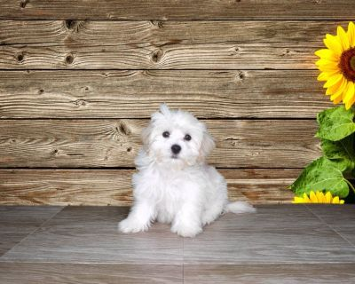 Marley is a papered and micro-chipped Male Maltipoo!