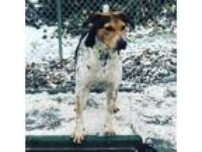 Adopt Lexi a Beagle / Mixed dog in Holland, MI (24029511)