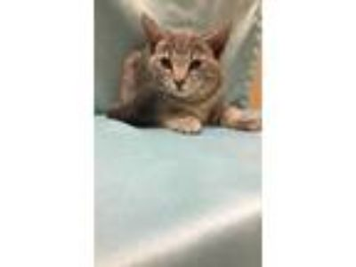 Adopt Cora a Gray or Blue Domestic Shorthair / Domestic Shorthair / Mixed cat in
