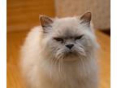 Adopt Jon Snow a Gray or Blue (Mostly) Himalayan (long coat) cat in Ennis