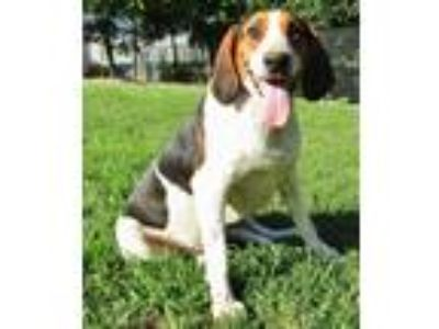 Adopt Walker a Tricolor (Tan/Brown & Black & White) Basset Hound / Coonhound /