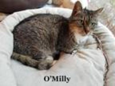 Adopt O Milley a Gray, Blue or Silver Tabby Domestic Shorthair (short coat) cat