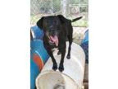 Adopt Nosy a Black Labrador Retriever