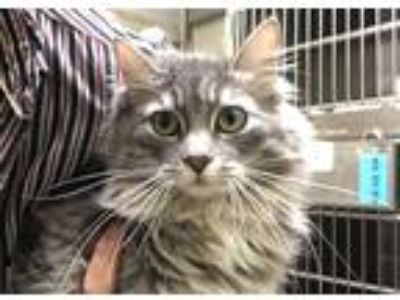 Adopt ALICE a Brown Tabby Domestic Longhair / Mixed (long coat) cat in Murray