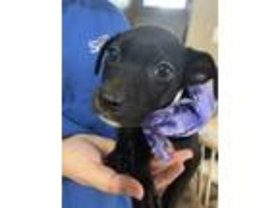 Adopt Yang**Local June 9th** a Labrador Retriever