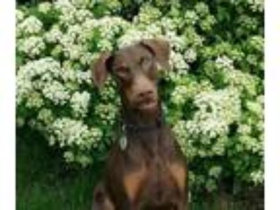 Adopt Ruby a Red/Golden/Orange/Chestnut Doberman Pinscher / Mixed dog in