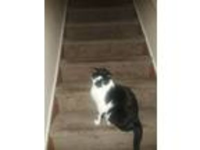 Adopt Oreo a Black & White or Tuxedo Domestic Shorthair cat in Schenectady