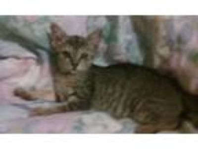 Adopt Penny a Brown Tabby Domestic Shorthair (short coat) cat in Salisbury