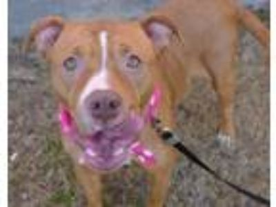Adopt Jimmie a American Staffordshire Terrier