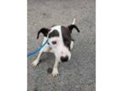 Adopt Ra a White American Pit Bull Terrier / Mixed dog in Philadelphia