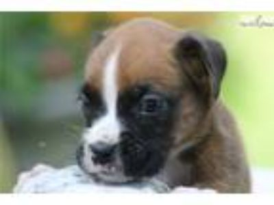 Ryder- Male Boxer 4 wk old in Madison, IN