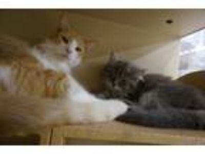 Adopt Blondie a Orange or Red (Mostly) Domestic Shorthair (short coat) cat in