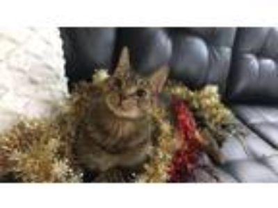 Adopt Sydney a Brown Tabby Domestic Shorthair / Mixed cat in Brooklyn