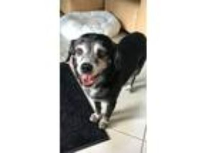 Adopt Blanche a Black - with Gray or Silver Spaniel (Unknown Type) / Mixed dog