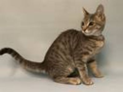 Adopt Angelica a Domestic Shorthair / Mixed (short coat) cat in Staten Island
