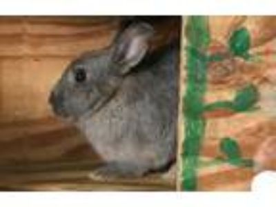 Adopt Peaches a Bunny Rabbit