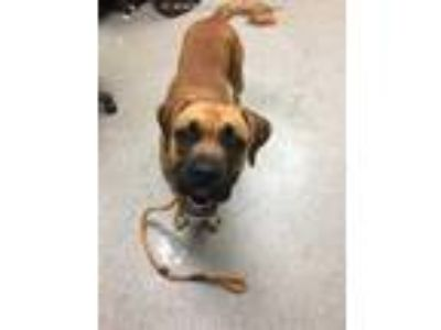 Adopt TITAN a Brown/Chocolate Boxer / Mixed dog in Lincolnton, NC (25874120)