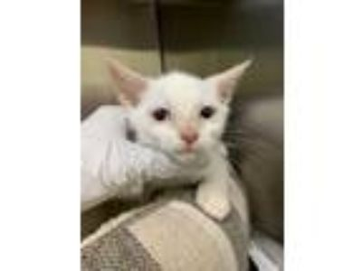 Adopt Ms. Chowder Cheeks a White Domestic Shorthair / Domestic Shorthair / Mixed