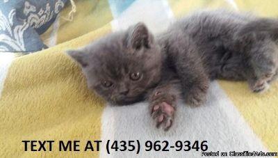 Reasonable100%/ Adorable sweet Scottish fold kittens for sale