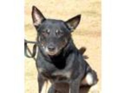 Adopt Murphy a Black Shepherd (Unknown Type) / Mixed dog in Enterprise
