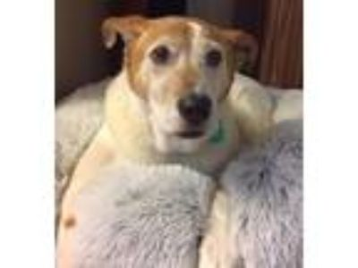 Adopt Bailey a White - with Tan, Yellow or Fawn Cattle Dog / Labrador Retriever