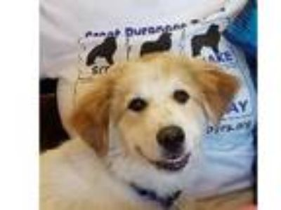 Adopt Smiling Hank a Great Pyrenees
