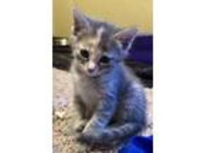 Adopt Mikasa a Gray or Blue Domestic Shorthair / Domestic Shorthair / Mixed cat