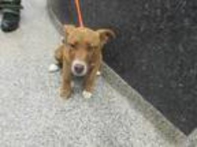 Adopt Luna a Red/Golden/Orange/Chestnut Shepherd (Unknown Type) / Hound (Unknown