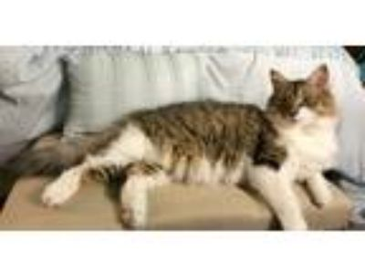 Adopt Sprinkles a Calico or Dilute Calico Domestic Longhair / Mixed cat in