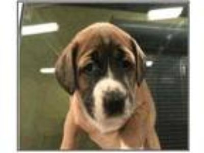 Adopt Thunder a Brown/Chocolate Boxer / Mixed dog in Fairfax Station
