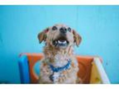 Adopt Lucy a Poodle, Spaniel
