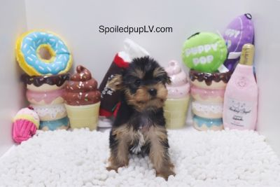Yorkshire Terrier PUPPY FOR SALE ADN-104431 - Yorkshire Terrier  Burton  Male