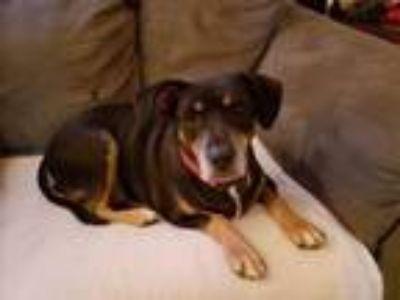 Adopt Princess a Hound, Labrador Retriever