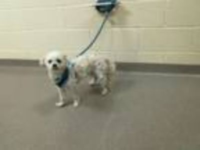 Adopt FROSTY a Poodle