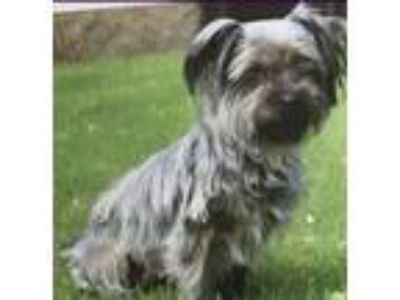 Adopt Dolce $100 a Yorkshire Terrier