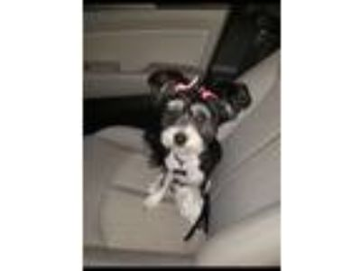 Adopt Oreo a Black - with White Pomeranian / Poodle (Standard) / Mixed dog in
