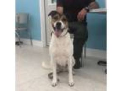 Adopt Maddy a Pointer, Pit Bull Terrier