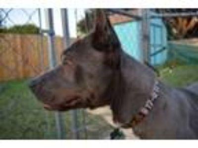 Adopt Zola a Pit Bull Terrier, Weimaraner