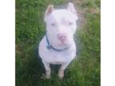 Adopt Lily a White American Staffordshire Terrier / Mixed dog in Blanchard