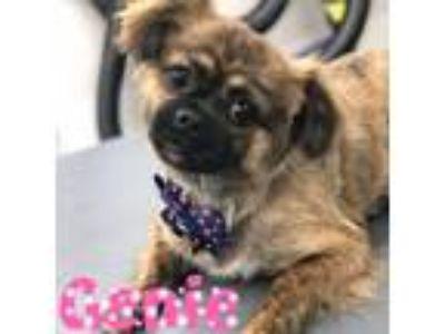 Adopt Genie a Pekingese