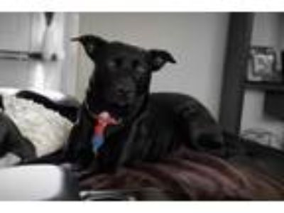 Adopt Jax a Black Labrador Retriever / Mixed dog in Mt. Vernon, IN (24806558)
