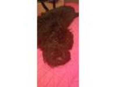 Adopt Echo a Black - with White Bernese Mountain Dog / Poodle (Standard) dog in