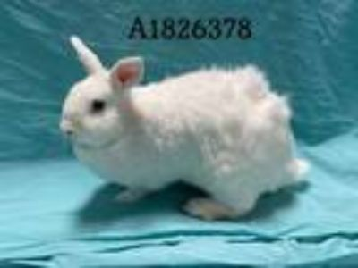Adopt FLUFFY BUNNY BALL a White American / Mixed rabbit in Los Angeles