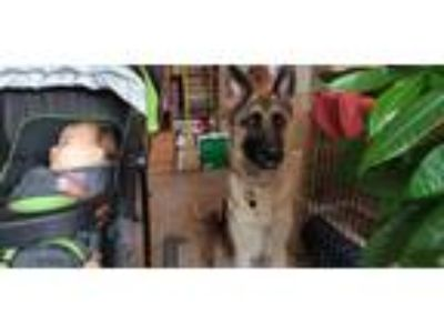 Adopt Max a Black - with Tan, Yellow or Fawn German Shepherd Dog dog in Corona